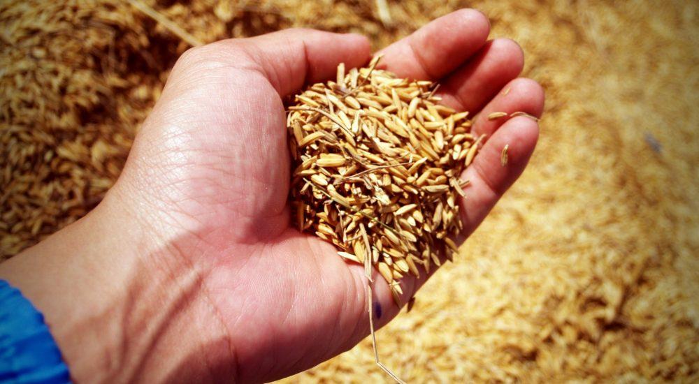 Reiskörner für Reisprotein