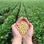 Sojabohnen für Sojaprotein